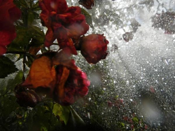 renata hazáková rosa NO3
