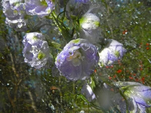 renata hazáková delphinium NO1