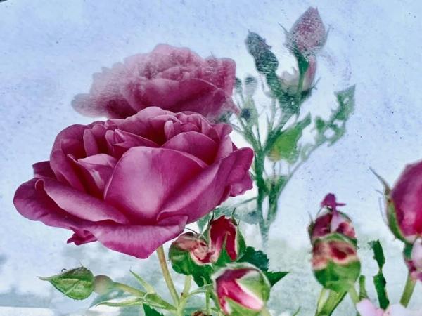 renata hazáková rosa NO5