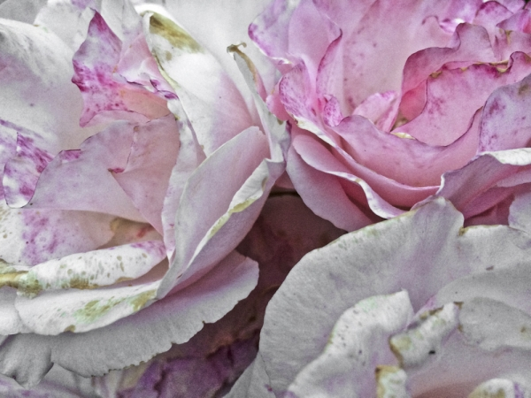 renata hazáková fine rosa